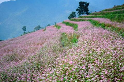 Buckwheat flower field