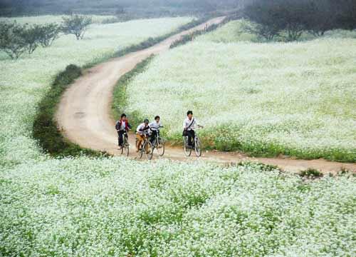 White mustard field in Moc Chau