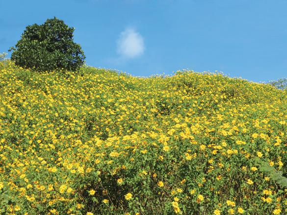 wild sunflower hills
