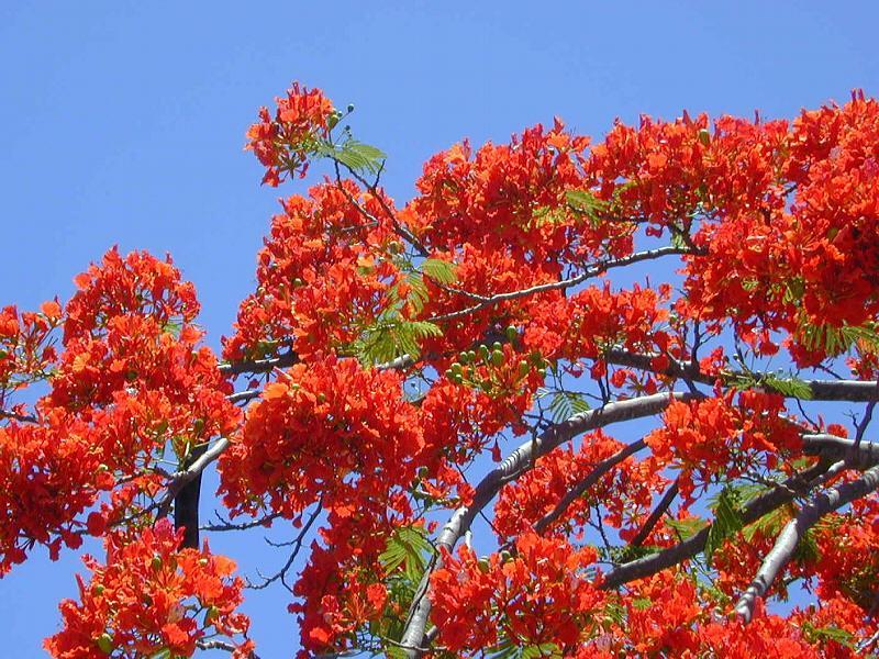 Seasons of flower in Vietnam, Flamboyant