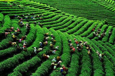 Launching Lam Dong Tea Week
