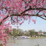 Mai Anh Dao – the spring's flower symbol of Da Lat city